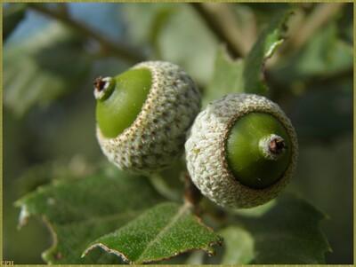 Chêne kermès ou chêne des garrigues