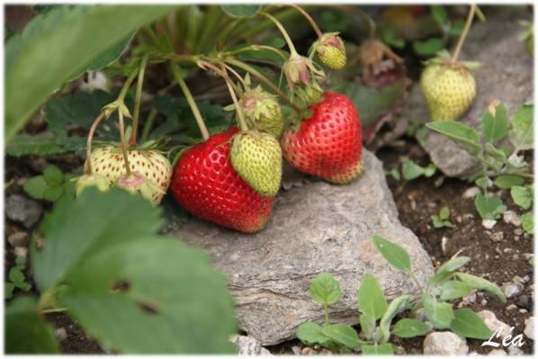 Jardin-6427-fraises.jpg