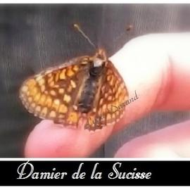 Damier de la Succise ou Euphydryas Aurinia