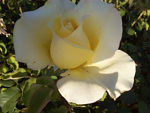 rose jaune le 24 août 2011