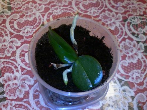Mon jeune d'orchidée