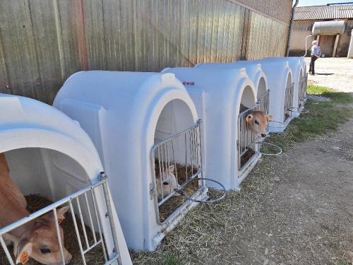 """Une """"nurserie"""" pour les vaches Brune , chez Chevallier-Jacoillot à Mauvilly..."""