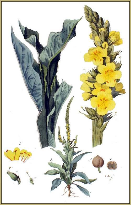 Vertus médicinales des plantes sauvages : Molène - Bouillon-blanc