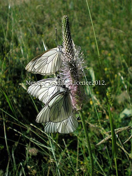 sucette-a-papillon.jpg