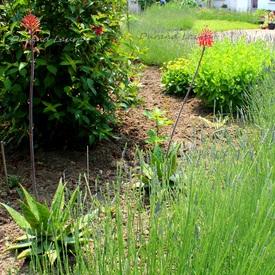 Aloes Saponaria mis en terre - 2013