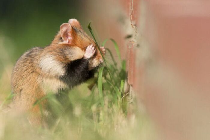 Les plus belles Photos de Hamsters sauvages d'Europe      de Julian Rad