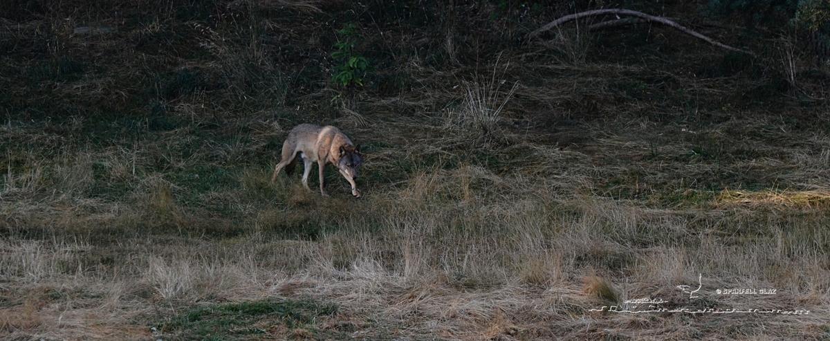 340 - Loup gris