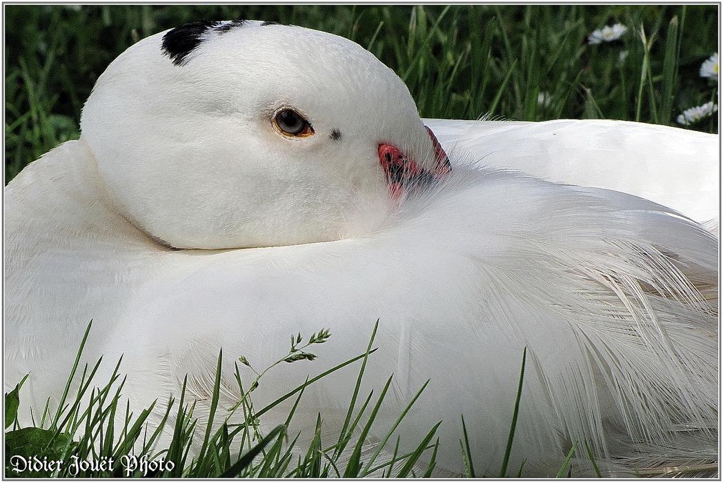 Canard Domestique