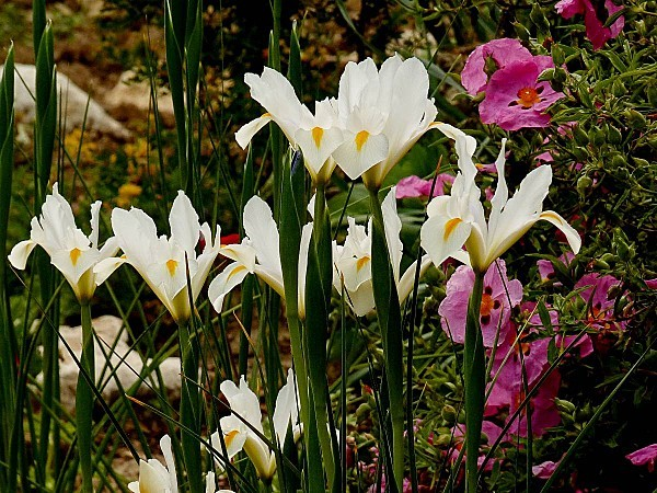 Iris Hollande blanc02