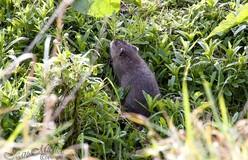 Le Rat d'eau.