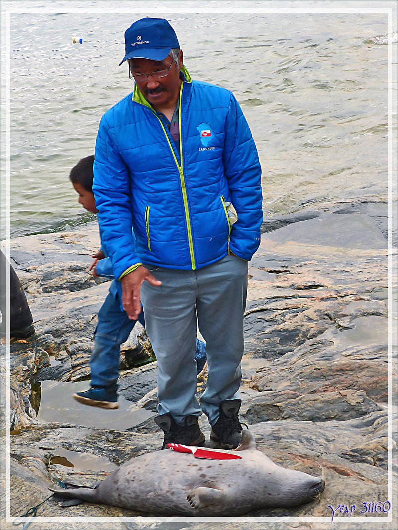 Dépeçage d'un phoque du Groenland - Kullorsuaq - Groenland