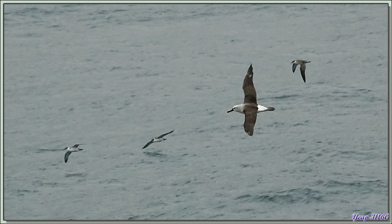 Albatros à nez jaune, Atlantic Yellow-nosed Albatross (Thalassarche chlororhynchos) et Puffins majeurs, Great Shearwater (Ardenna gravis) - Gough Island - Tristan da Cunha