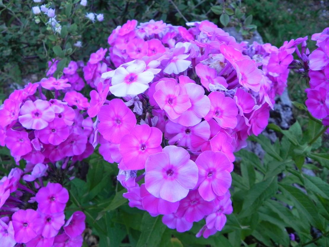 Fleurs du Jura