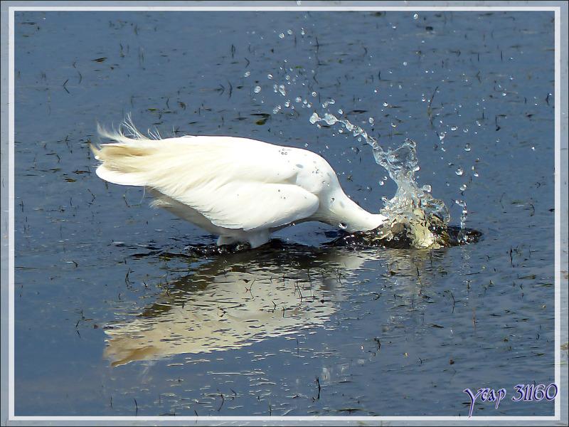 Aigrette garzette, Little Egret (Egretta garzetta) - La Couarde-sur-Mer - Ile de Ré - 17