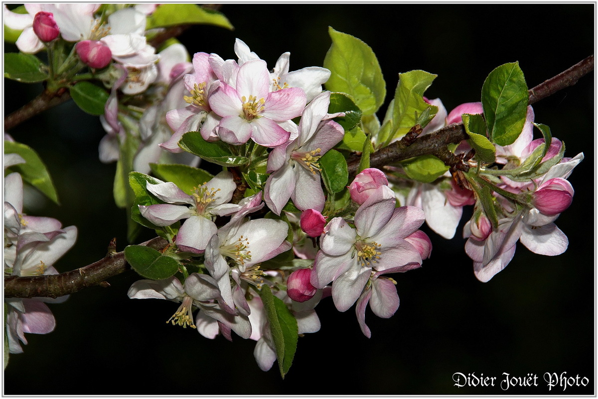 Pommier (1) - Fleurs