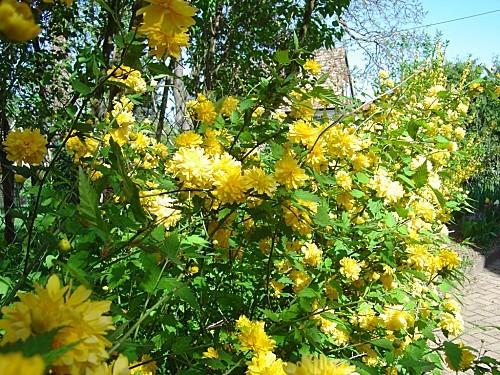 fleurs-d-avril-copie-1.JPG