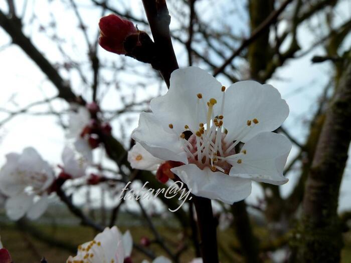 Abricotiers en fleurs .