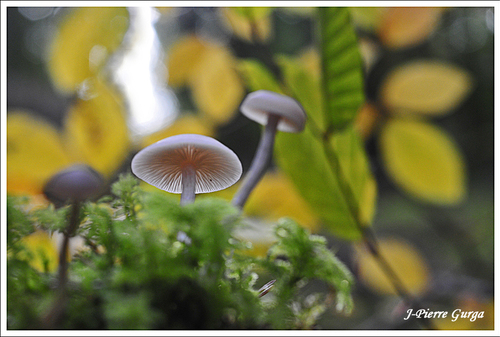 D'autres champignons photographiés par Jean6pierre Gurga en automne 2012...