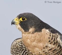 Faucons pèlerins,ホークプレグラン, Ястреб Пелегрин,pelegrine, falcon,Falco peregrinus,,be,Mons ()