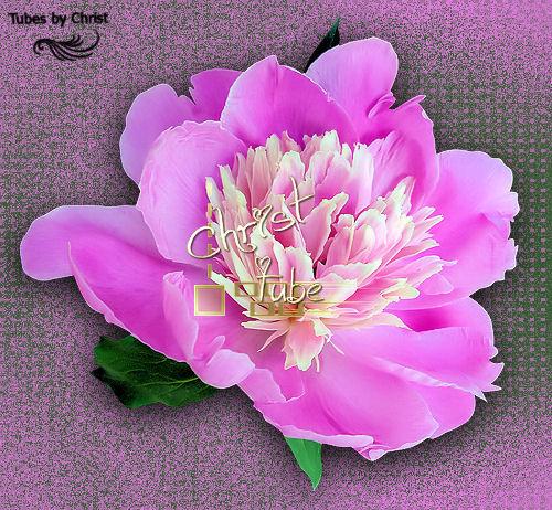 Pivoines Roses 1.