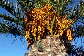 Le palmier et ses fruits ! - gabray 31 en Tolosan
