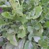 cresson de jardin(Barbarea-praecox)