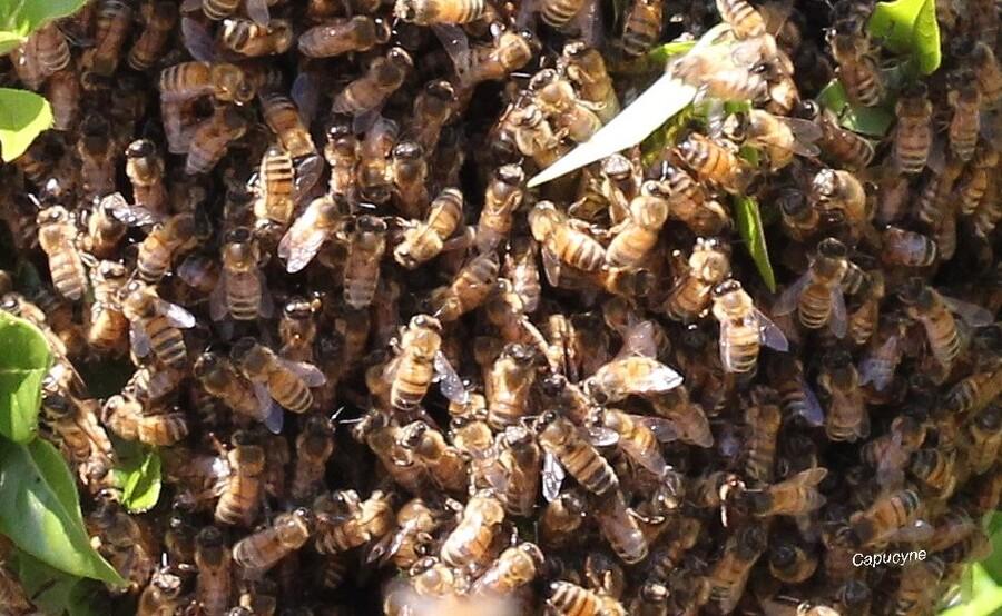 Des milliers d'abeilles !!!