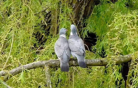 pigeons-3.JPG