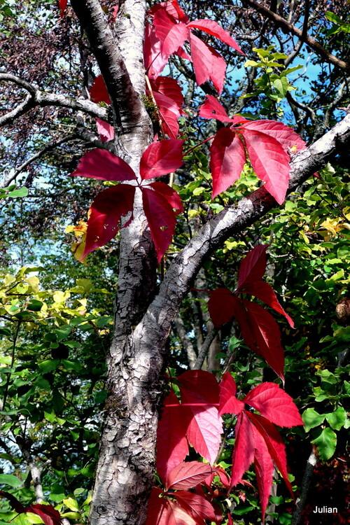 Les feuilles rouges de la vigne vierge