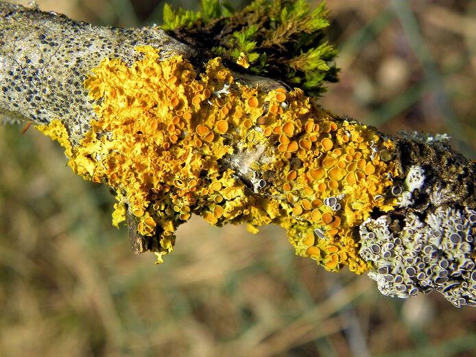 Sublimes lichen