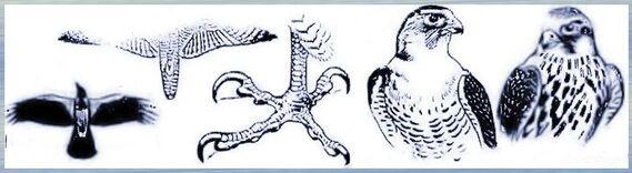 Faucons pèlerins,Falco peregrinus,  beffroi , Mons ,,