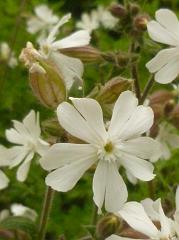 Compagnon blanc fleur