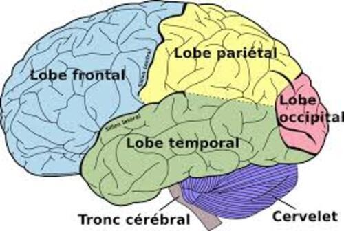 Hommes, femmes, deux cerveaux ?