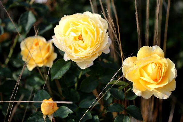 Les Roses de Warren : High Roller