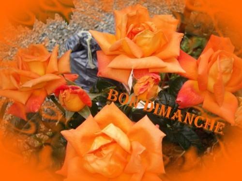 rose-orange.jpg