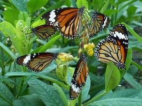 papillons ou fleurs?
