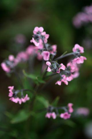 Des compagnes pour mes roses : Cynoglossum amabile