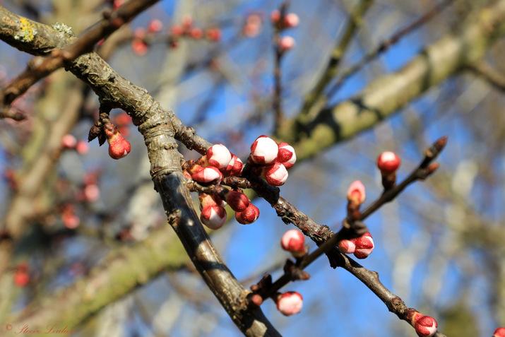 Hermé premiers bourgeons, printemps