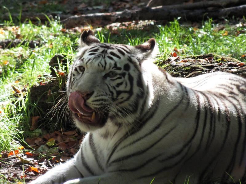 le tigre blanc