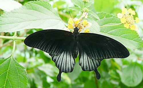 Serre-aux-papillons--Goulaine--8-7-10-P367.JPG