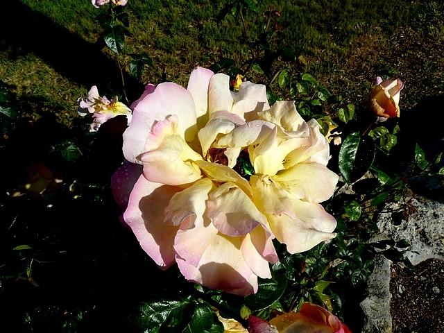 Les roses de Balazuc 10 Marc de Metz 20 07 2012