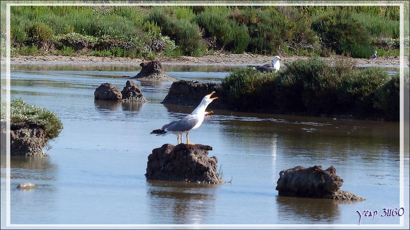 Goéland leucophée, Yellow-legged Gull (Larus michahellis) - Ars-en-Ré - Île de Ré - 17