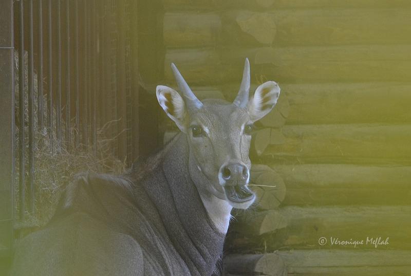 Ménagerie du Jardin des plantes : Antilope Nilgaut
