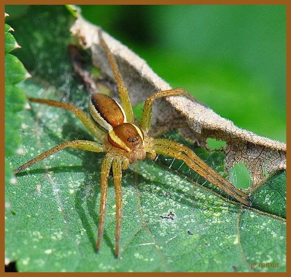 L'araignée Dolomède des marais (Dolomedes fimbriatus).