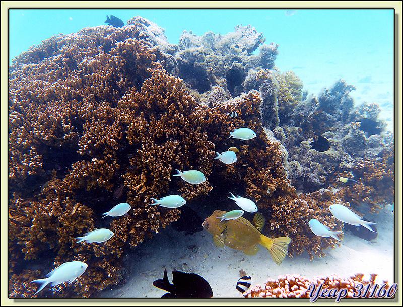 Les demoiselles bleu-vert et le poisson coffre jaune - Motu Porou - Tahaa - Polynésie française