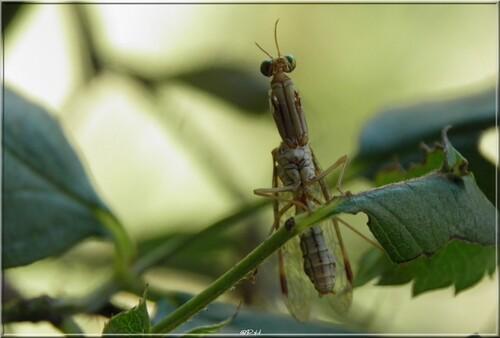 Le Mantispe païen