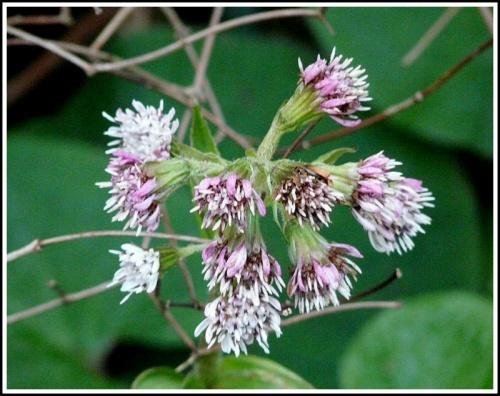 Quelques fleurs d'hiver.... les Hellebores