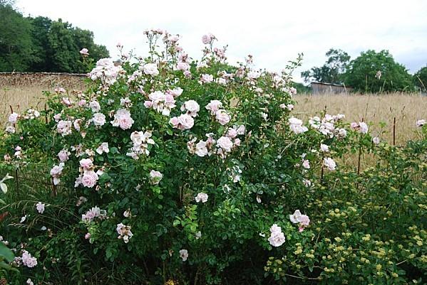 Grimpant rose Morsang