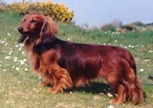 Harnais-pour-chien-Teckel-a-poil-long