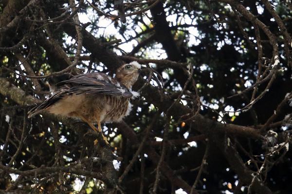Quelques nouvelles des oiseaux nicheurs de Paris